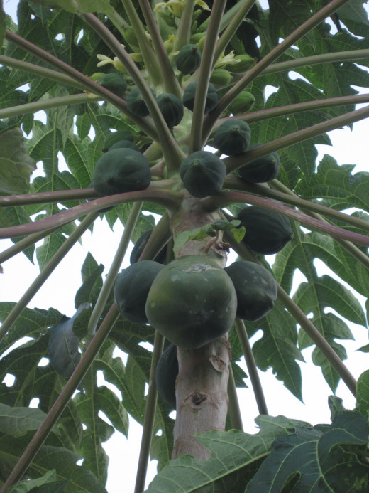 One of our papaya trees