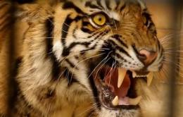 Tiger roaring face