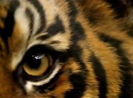 tiger eye round pupil shape