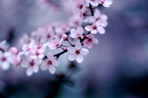 Cherry Blossoms by Jeff Kubina (licensed CC-BY-SA)