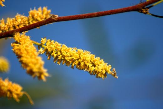 Mesquite blooms
