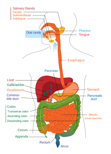 Fun Facts About The Digestive System | HubPages