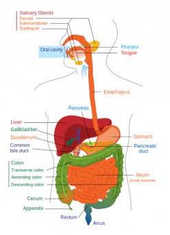 Fun Facts About The Digestive System