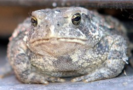 toad, toed, towed