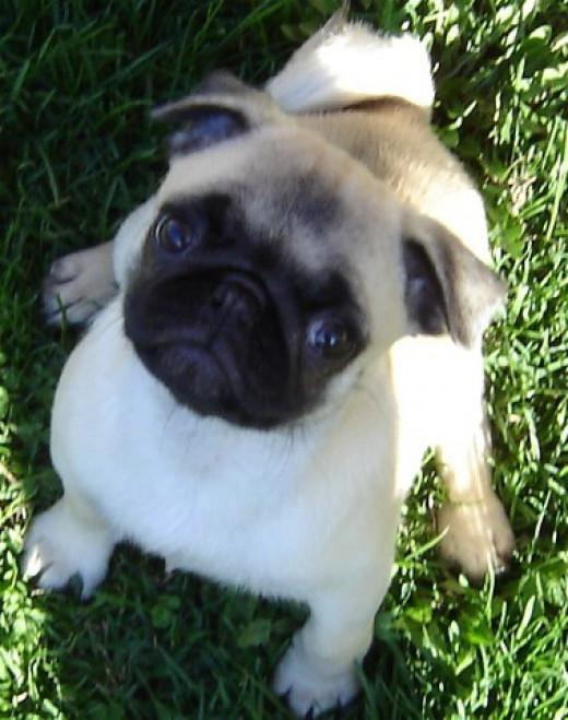 A Pug puppy.