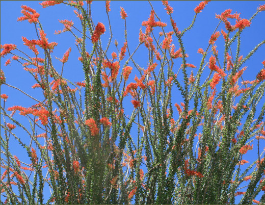 Flame beautiful deciduous drought tolerant plant.