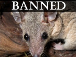 The short-tailed opossum is deemed a dangerous wild animal because it raises its young in a pouch. Used with Permission