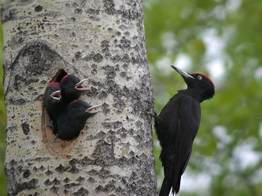 By being able to excavate live wood, woodpeckers around the wood, have the luxury of access to both usually untapped food and also a secure breeding site.