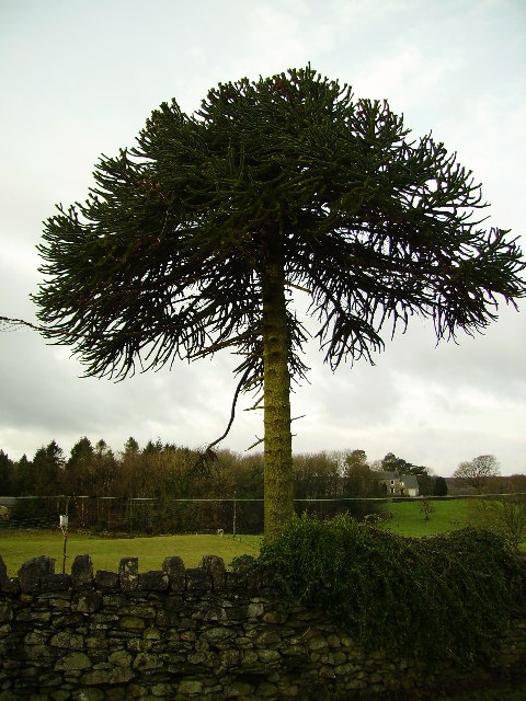 Monkey Puzzle Tree...not seeing the resemblance...