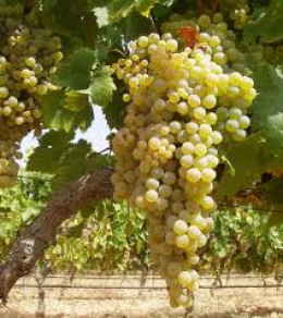 Palomino grapes that are used in all Spanish sherries.