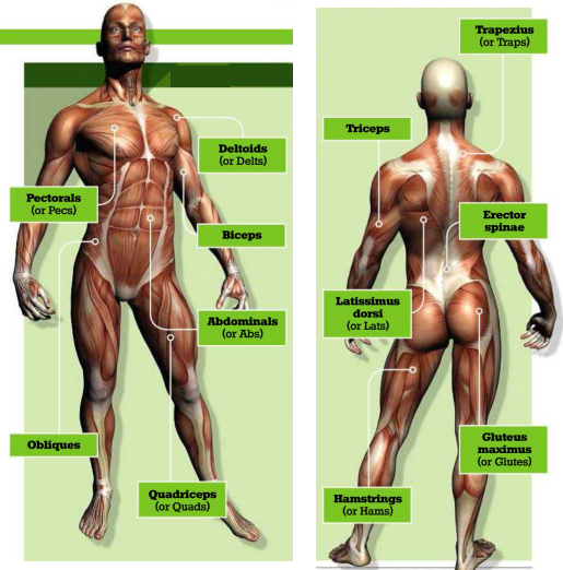 Muscle groups in human body