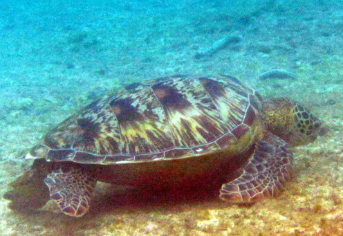 Up close with sea turtles even while snorkeling