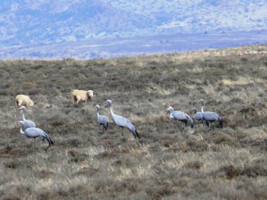 Blue Crane-S.A.National Bird