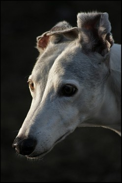Greyhound ears have a life of their own.