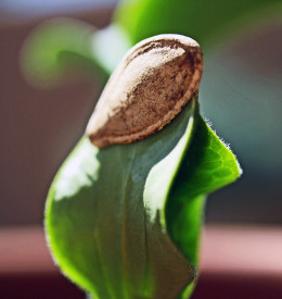 Tender shoot emerging from a pumpkin seed, planted in soil.