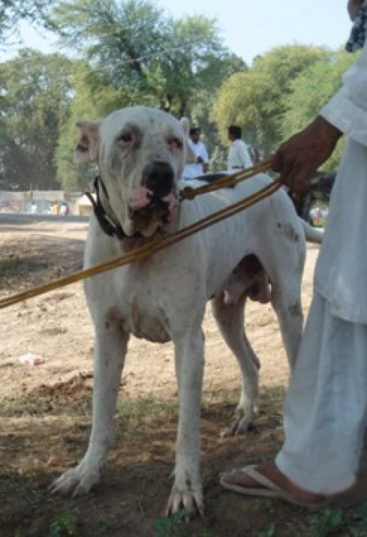 The Bully Kutta s found in India and Pakistan.