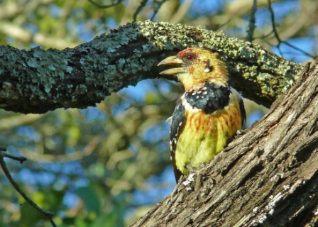 Pied Barbet-Pretorius Kop
