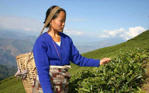 Woman plucking the tea leaves.