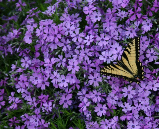 Phlox attracts butterflies.