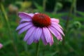 Growing Echinacea Successfully in the Home Garden