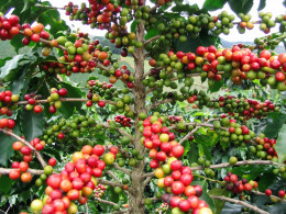 Coffee fruits in a coffee tree  photo by Fernando Rebelo