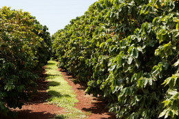 Coffee plantation in Hawaii.  Photo by Lukas from Tokyo, Japan