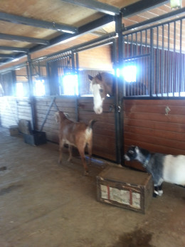 Farm animals bond at Villa Chardonnay