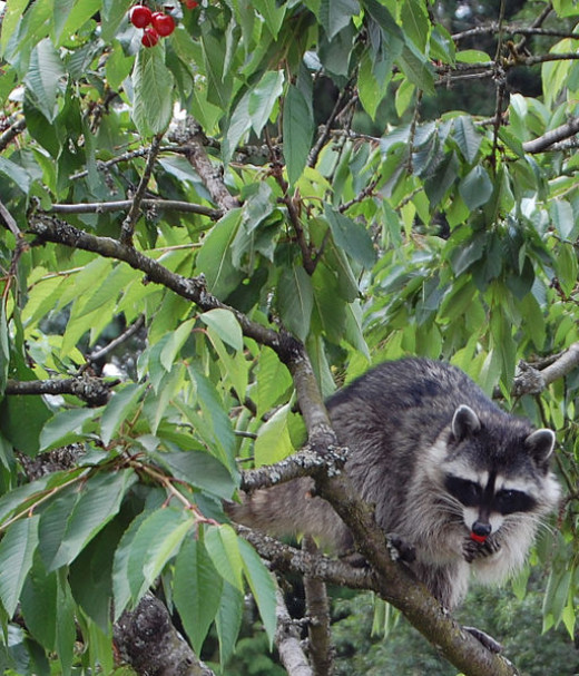 The only raccoon we saw on the entire trip was in Arlington Cemetery making a beeline for a tree.