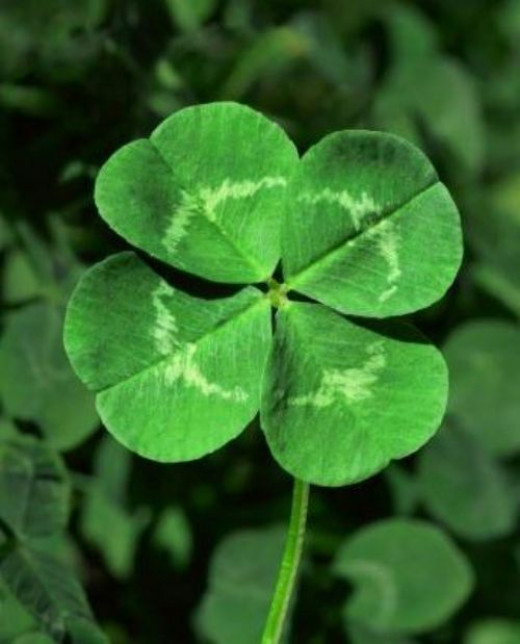 Shamrock and Four Leaf Clovers