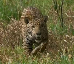 Facts about Jaguars (Panthera Onca), the Third Largest Cat in the World