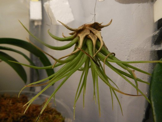 Tillandsia Brachycalous Multiflora.  You see the dry tips and browning leaves?  Another water and light problem.  I've increased humidity by 20% for them.  Over two days I've noticed a difference.
