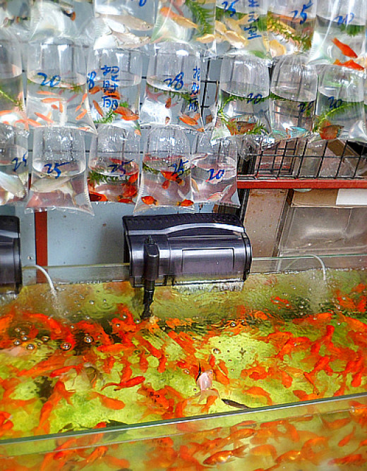 Goldfish in tanks and plastic bags