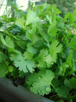 Cilantro Benefits for Health