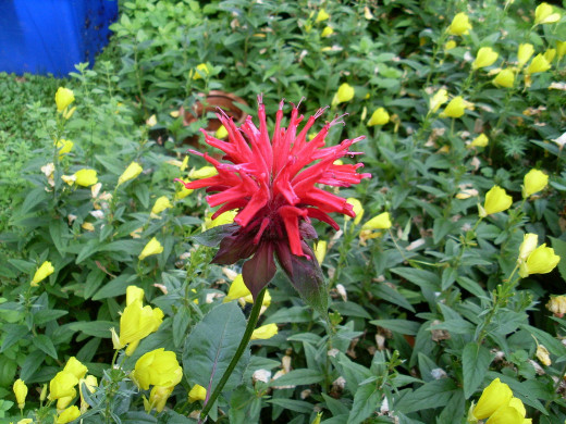 Red Bee Balm and Yellow Evening Primrose
