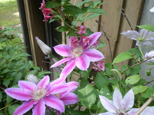 Candy Stripe Clematis