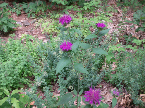 Purple Bee Balm and Oregano