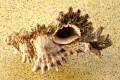 Frog Seashells