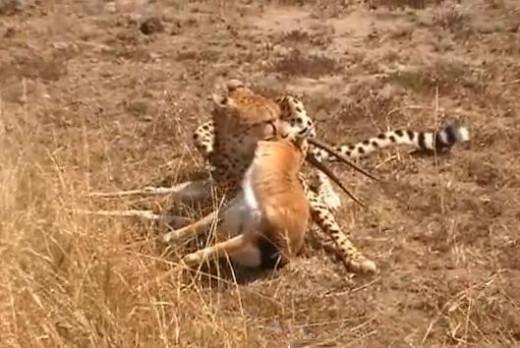 Cheetah kills gazelle
