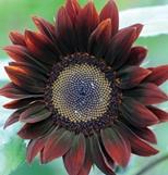 Chocolate sunflower.