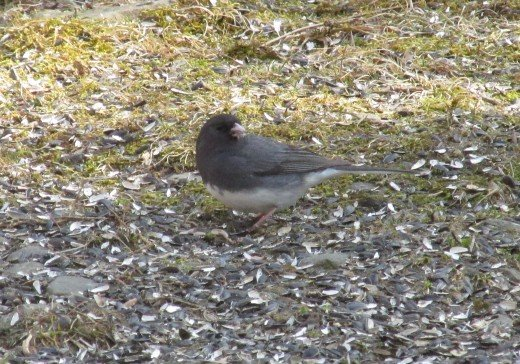 Slate-Colored Juncos enjoy foraging on the ground.