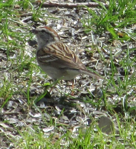 American Tree Sparrows are frequent visitors under my bird feeders.