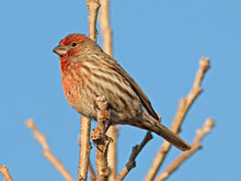 Here is a House Finch, male, (Carpodacus mexicanus)