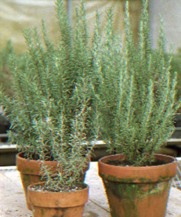 Rosemary plants in pot