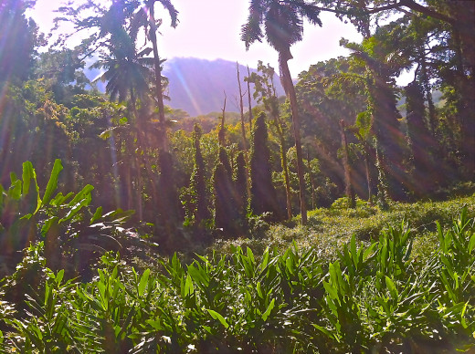 A stunning view from the very first part of Manoa Trail.