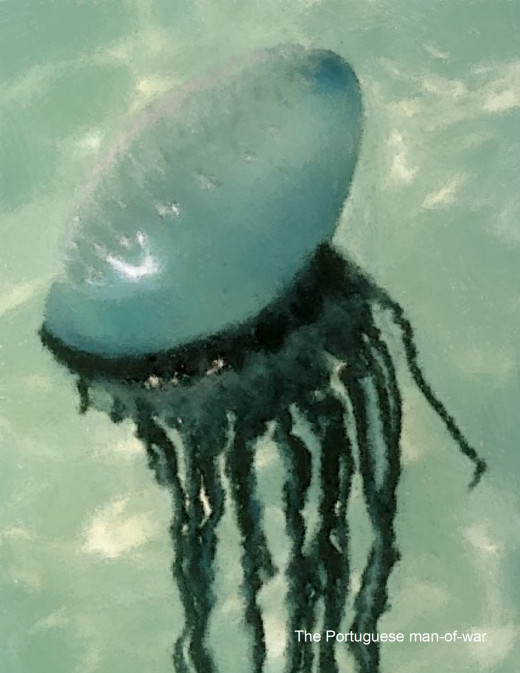 The Portuguese man-of-war is one of the most dangerous inhabitants of the sea that one could ever come across.