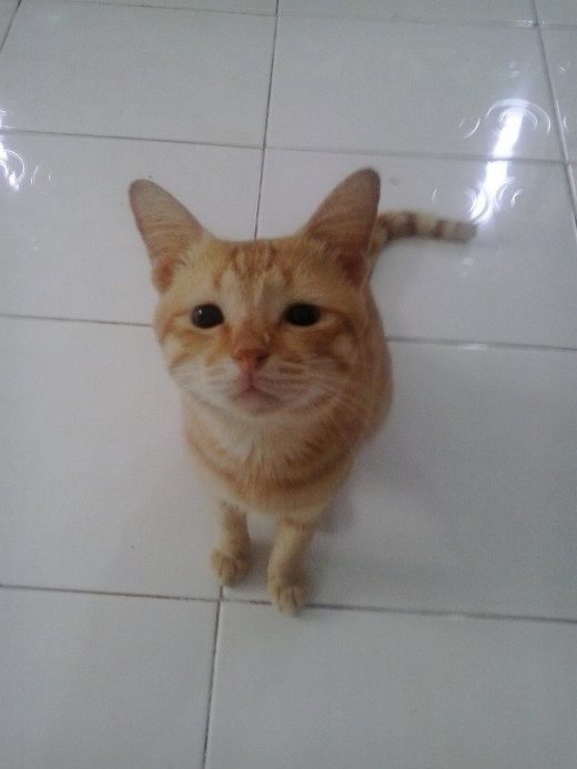 Cicil, a male ginger cat.