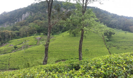 In Loolkandura Tea Plantation.