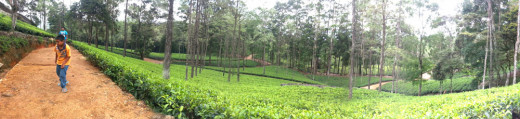 Nicely laid out tea plantation in Loolkandura Tea Estate.