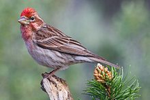 This is a male Cassin's Finch (Carpodacus cassinii)   from Oregon.