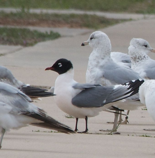 Franklin's Gull(with black hood) among Ring-billed Gulls